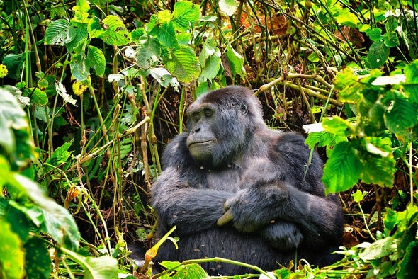 Not-So-Great-Apes? Research Focus on Gorillas Leave Other Species and Ecosystems Unstudied