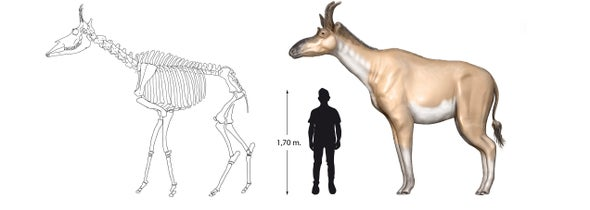 Paleo Profile: King of the Miocene Iberian Giraffes