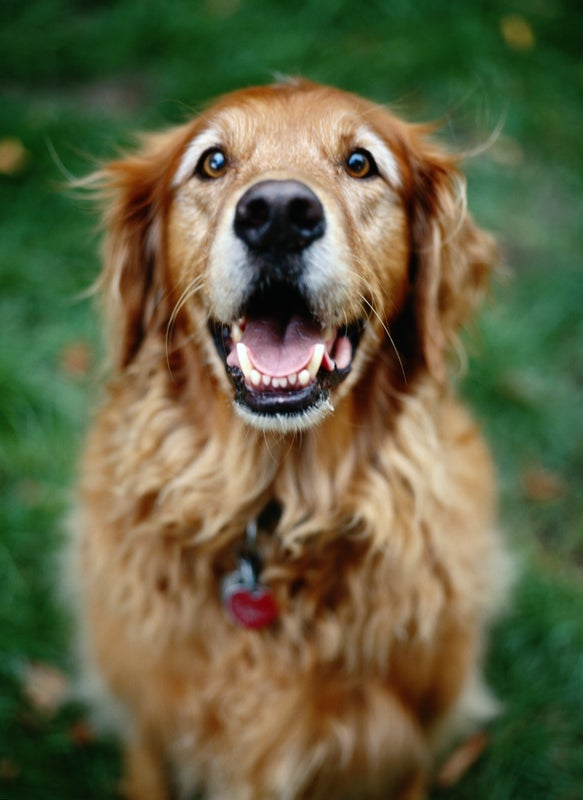 Dogs Process Language Like Us, but What Do They Understand?