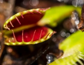 Venus Flytraps Risk Extinction in the Wild at the Hands of Poachers
