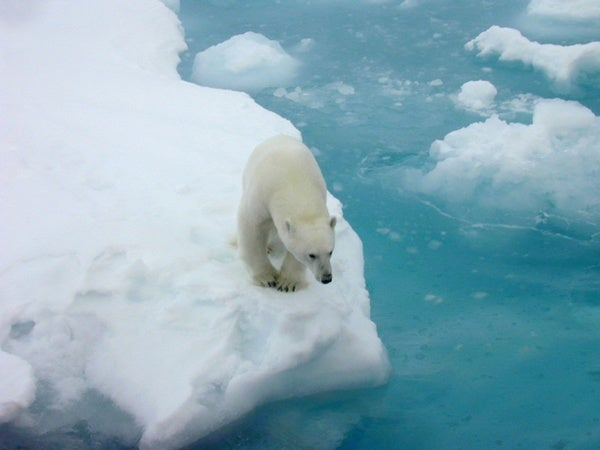 """Polar Bear Conservation Plan Calls Climate Change """"the Primary Threat"""" to Their Survival"""