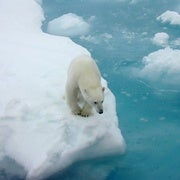 Polar Bear Conservation Plan Calls Climate Change