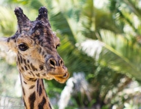 Photoblogging: The Giraffe is Not Impressed