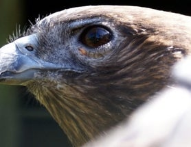The Long, Strange Saga of the Endangered Hawaiian Hawk