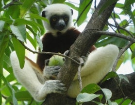 Sunday Species Snapshot: Coquerel's Sifaka