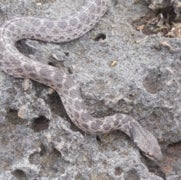 Found: A Snake Species No One Believed Existed