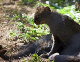 Sunday Species Snapshot: Gulf Coast Jaguarundi