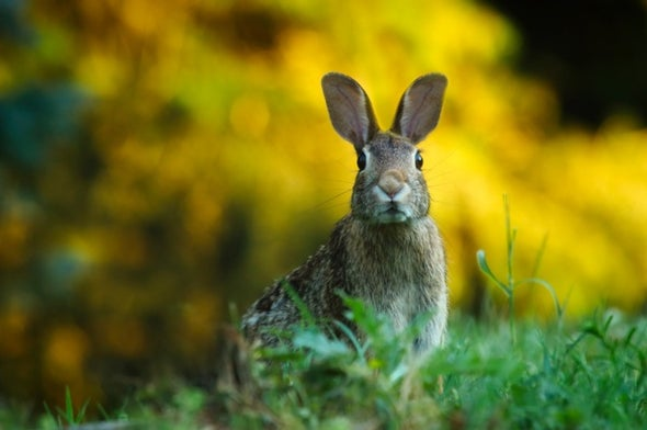 The Legacy of the Trickster Hare