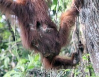 Call of the Orangutan: Injuries and Their Limitations