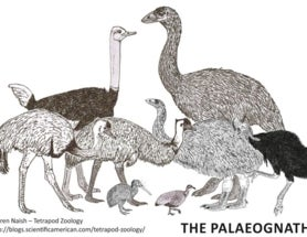 Controversies from the world of ratite and tinamou evolution (part I)