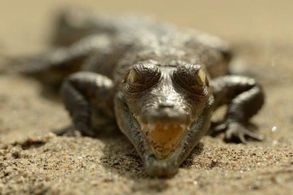 Rarest Crocs in the Americas Get a Radio Boost
