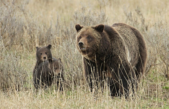 Should Yellowstone Grizzlies Lose Their Protected Status?
