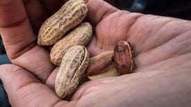 Breeding a Nonallergenic Peanut