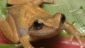 California, Watch Out: The Invasive Coqui Frog Is Coming