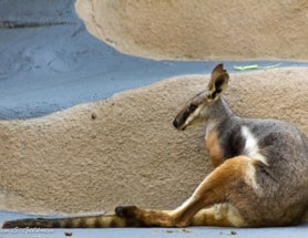 Photoblogging: Perfectly Framed Wallaby