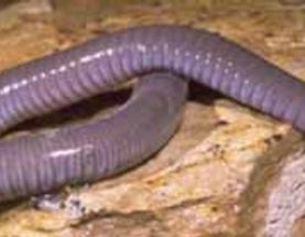 Because caecilians are important
