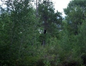 Any Black Bear Experts Out There?