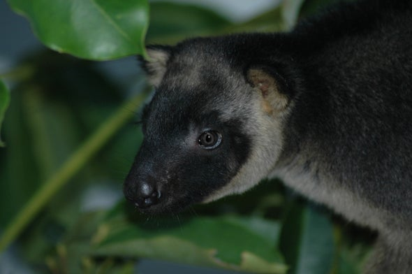 Poop Could Help Save Rare Tree Kangaroo from Extinction