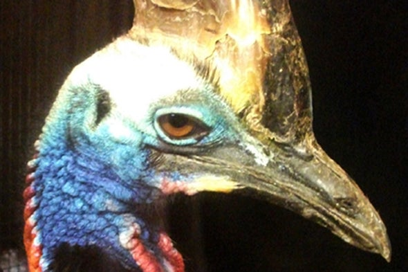 How Dangerous Are Cassowaries, Really?