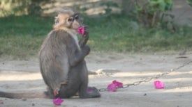 Is Chocolate Driving Monkeys into Extinction?