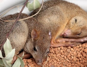 Parasites that Cause Chagas Disease in Humans May Also Be Killing Tiny Australian Marsupials