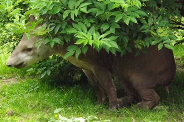 On World Tapir Day, a Quick Look at (Part of) Tapir History