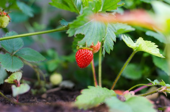 The Short Political Career of Strawberries