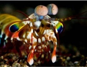 Parallels between Shrimp and Human Color Vision