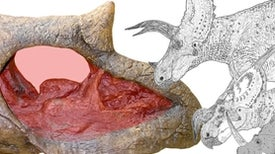 The Ridiculous Nasal Anatomy of Giant Horned Dinosaurs