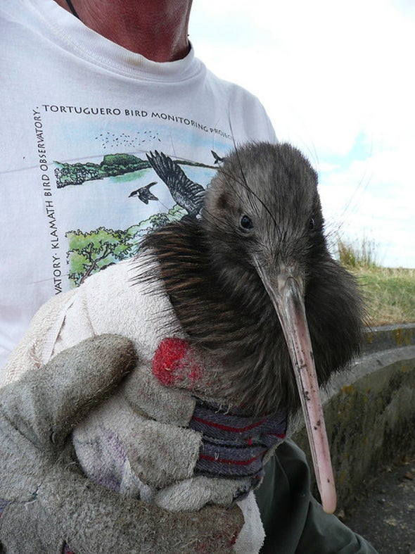$1 Million More a Year Could Save Kiwi Birds from Extinction