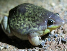 'Strange bedfellow frogs' (part II): pig-nosed or shovel-nosed frogs, or snout-burrowers