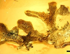 New Trove of Lichen Fossils Expands Total from 15 to 167