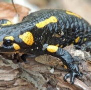 Fire Salamanders in the Netherlands Wiped Out by Newly Discovered Fungus
