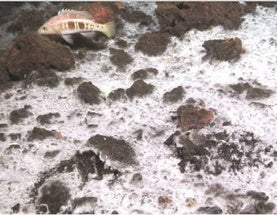 Bacterial Hair on Undersea Volcano Unlike Any Seen Before
