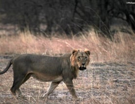 Shocking Study Finds Lions are Nearly Extinct in West Africa