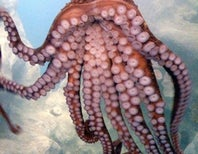 Odd Male Octopus Flaunts 2 Unexpected Arm Phalluses