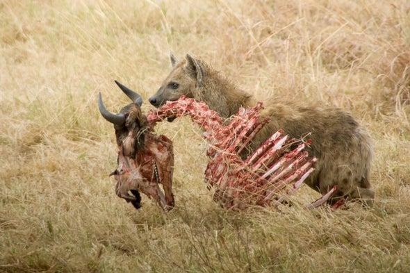 When Lions Abound, Hyenas Pick a New Menu