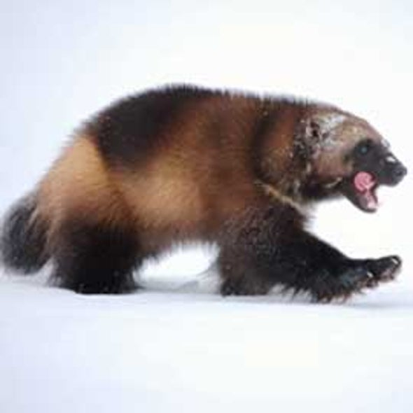Wolverines denied endangered species protection as climate change shrinks their habitat