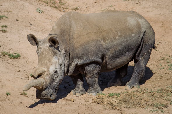 Northern White Rhino Dies, Leaving Just 3 on the Planet