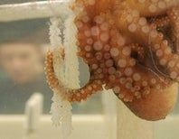 Octopus Eggs Need Helpful Bacteria To Stay Healthy, Too
