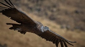 Pesticides Are Killing Off the Andean Condor