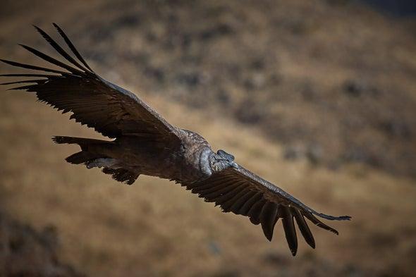 Pesticides Are Killing Off the Andean Condor
