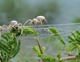 Baby Spiders Are Braver When Their Parents Are Around