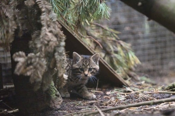 Adorable Kittens Represent Hope for Nearly Extinct Scottish Wildcats