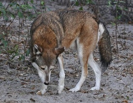 8 Years until Red Wolf Extinction?