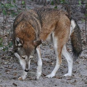 Eight Years Until Red Wolf Extinction?