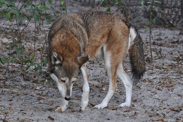 8 Years until Red Wolf Extinction?