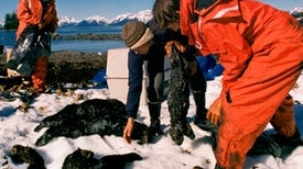 25 Years after Exxon Valdez Spill, Sea Otters Recovered in Alaska's Prince William Sound