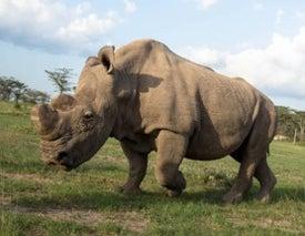 RIP Sudan, the Last Male Northern White Rhino