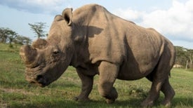 RIP Sudan, the Last Male Northern White Rhino